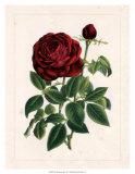 Van Houtteano Rose II Posters