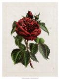 Van Houtteano Rose I Art