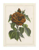 Chinese Red Rose I Giclee Print