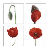 Metamorphosis of the poppy Prints by Nuridsany &amp; Perennou 