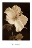 Bouton de rose Affiches par Sondra Wampler
