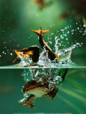 Frog under Water Posters by Tim Flach