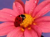 Ratier - Ladybird - Poster