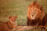 Lion & Cub Poster