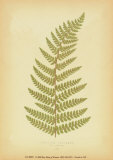 Ferns Poster by Edward Lowe