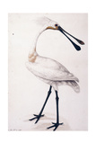 Spoonbill, 1777 Giclee Print by Sarah Stone