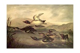 Wild Ducks Rising, 1840 Giclee Print by John Woodhouse Audubon