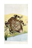 Horned Frog Giclee Print by Frederick Polydor Nodder