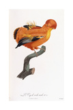 Male Cock-Of-The-Rock Giclee Print by Jacques Barraband