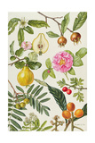 Quince and Other Fruit-Bearing Trees Giclee Print by Elizabeth Rice