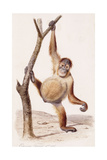 Orangutan, 1836 Giclee Print by Edouard Travies