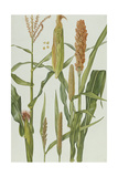 Maize and Other Crops Giclee Print by Elizabeth Rice