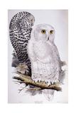 Snowy Owl, 1832-1837 Giclée-Druck von Edward Lear