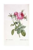 Rosa Centifolia Foliacea Giclee Print by Pierre-Joseph Redouté