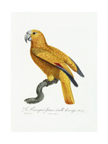 Yellow and Red Parrot, C.1801-05 Giclee Print by Jacques Barraband