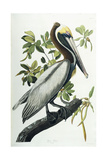 Brown Pelican, 1835 Giclee Print by John James Audubon
