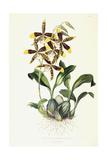 Odontoglossom Grande, C.1837-1843 Giclee Print by Sarah Ann Drake