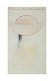 Portuguese Man-O'-War Giclee Print by John White