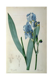 Iris Pallida, from `Les Liliacees', 1805 Giclee Print by Pierre-Joseph Redouté