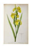 Iris Pseudacorus, from `Les Liliacees', 1805 Giclee Print by Pierre-Joseph Redouté