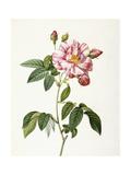 Rosa Gallica Versicolor Giclee Print by Pierre-Joseph Redouté