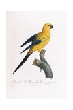 Golden Parakeet, Ara Guarouba, at an Early Age Giclee Print by Jacques Barraband
