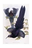 Epimachus Ellioti, Ward, C.1891-1898 Reproduction procédé giclée par William Hart