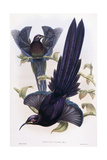 Epimachus Ellioti, Ward, C.1891-1898 Giclee Print by William Hart