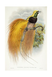 Paradisea Augustae Victoriae, 1891-1898 Reproduction procédé giclée par William Hart