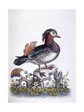 Chinese Teal, 1746 Giclee Print by George Edwards