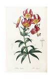 Lilium Superbum, 1805-1816 Giclee Print by Pierre-Joseph Redouté
