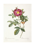 Rosa Damascena Coccina Giclee Print by Pierre-Joseph Redouté