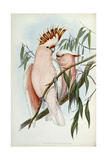 Cacatua Leadbeateri, 1848-1869 Giclee Print by John Gould