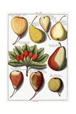 Various Pear Species, 1760-1766 Giclee Print by Johann Hermann Knoop