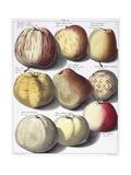 Various Apples, 1758 Giclee Print by Johann Hermann Knoop