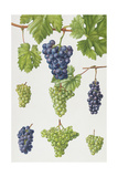 Grapes Giclee Print by Elizabeth Rice