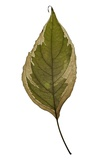 Siberian Dogwood Leaf 4, 2009 Photographic Print by Henrietta Molinaro