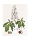 Aesculus Hippocastanum Giclee Print