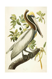 Brown Pelican, Male Adult, C.1827-1838 Giclee Print by John James Audubon