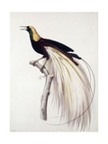 Greater Bird of Paradise, Male Reproduction procédé giclée par Jacques Barraband
