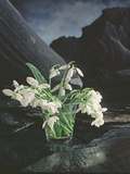 Snowdrops, 1995 Photographic Print by Norman Hollands