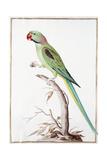 Alexandrine Parakeet Giclee Print by Nicolas Robert