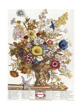 November, from 'Twelve Months of Flowers', 1730 Giclee Print by Pieter Casteels