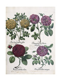 Four Types of Roses, 1613 Giclee Print by Antoine Pesne