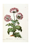 Garden Poppy with Black Seeds, 1769 Giclee Print by John Edwards