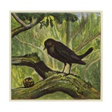 Blackbird and Snail Giclee Print by Ernest Henry Griset