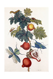 Metamorphosis of Various Insects, 1726 Giclee Print by Pieter Sluiter Or Sluyter