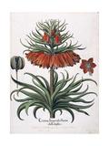 Corona Imperialis Florum, 1613 Giclee Print