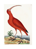 Curlew, Numenius, 1771 Giclee Print by Mark Catesby