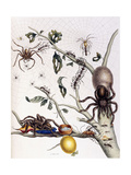 Various Arachnids from South America, 1726 Giclee Print by Maria Sibylla Graff Merian